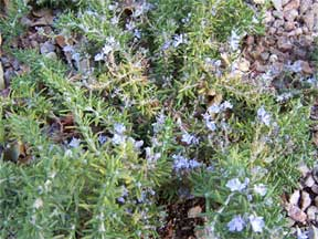 rosmarinus officinalis creeping rosemary