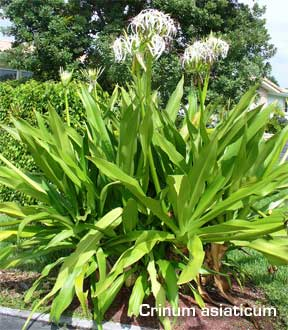 crinum asiaticum flowering in the landscape