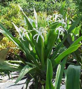 Crinum Lily