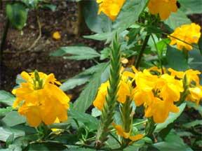 Flowering orange crossandra