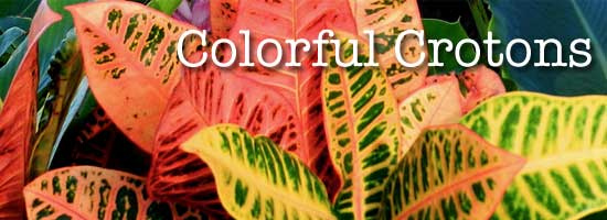 bright colorful croton leaves