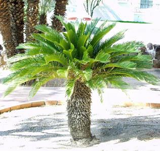 sago palm cycas revoluta