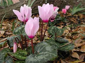 Flowering cyclamen outdoors