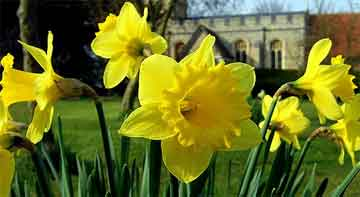 Yellow Daffodil flowering in spring