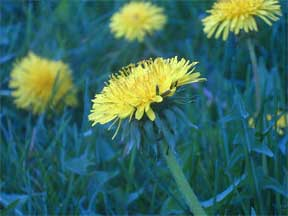 dandelions in flower