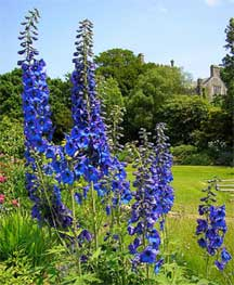 assorted growing delphiniums