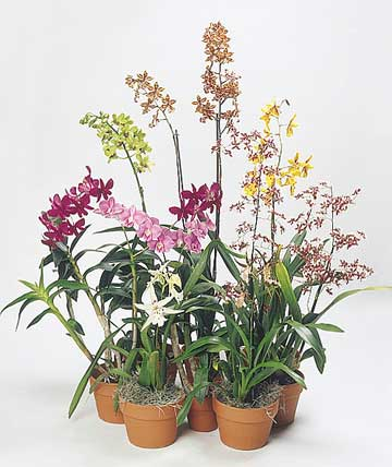 assorted dendrobiums in flower - orchids used as house plants for color