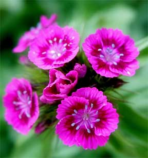up close with dianthus