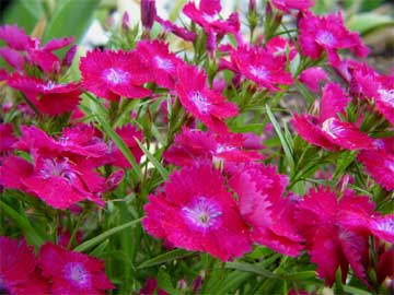 Dianthus the pinks