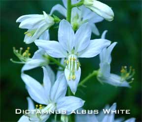 Blooming dictamnus albus white