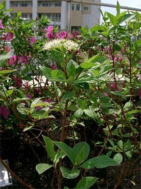 Dogwood shrub Cornus alba