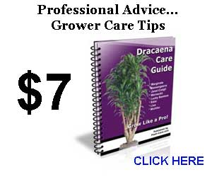 Dracaena Care