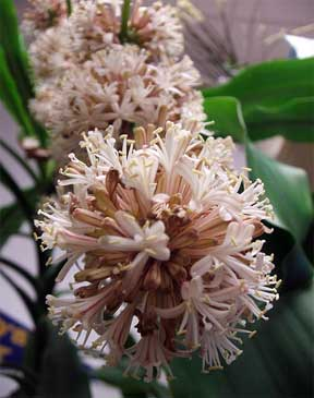 close up Dracaena fragrans in flower