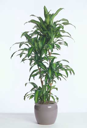 Acclimated Dracaena Massangeana grown in California
