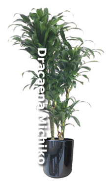 Dracaena Michiko - Hawaiian grown sport of Dracaena Janet Craig in ceramic decorative container