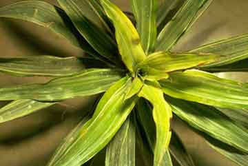 Iron deficiency due to high pH on Dracaena Warneckii