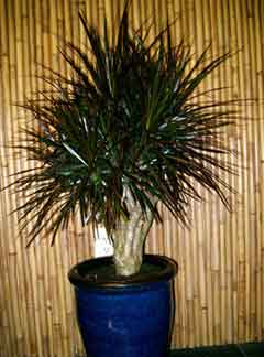 Dracaena 'Magenta 10 inch stump