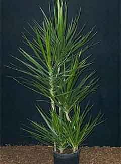 He dracaena marginata is a member of the dracaena family liliaceae