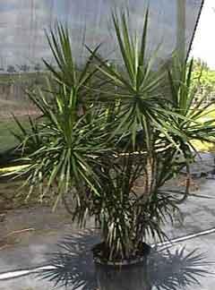 Dracaena marginata names cultivars forms and care