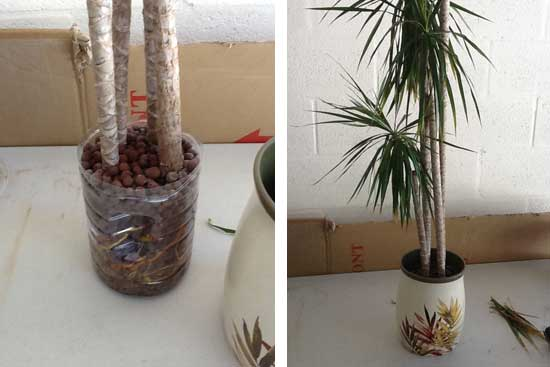 Dracaena  5 foot growing as SIP in water bottle