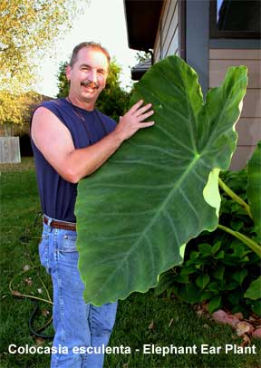 elephant ear plant.jpg