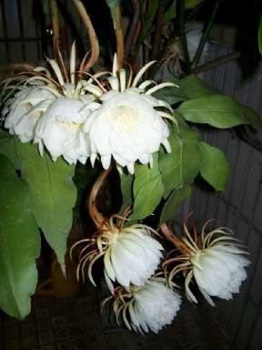 flowering Epiphyllum Orchid Cactus