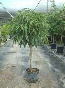 What Will I Look Like When I Grow Up >> Ficus alii