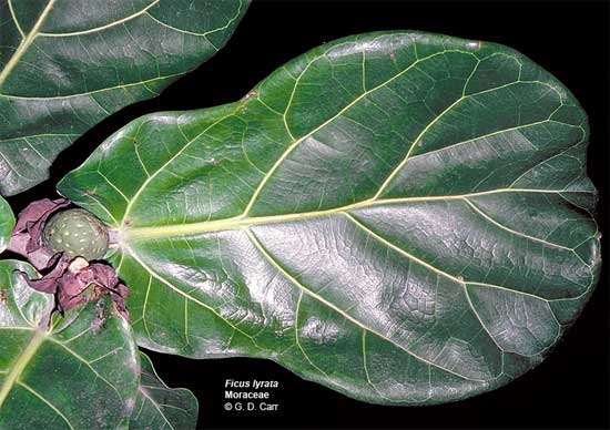 leaf and fruit of dicus lyrata