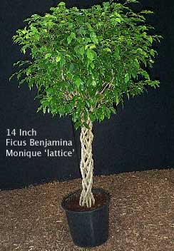 Ficus benjamina Monique - The Indoor Tree call the Weeping Fig