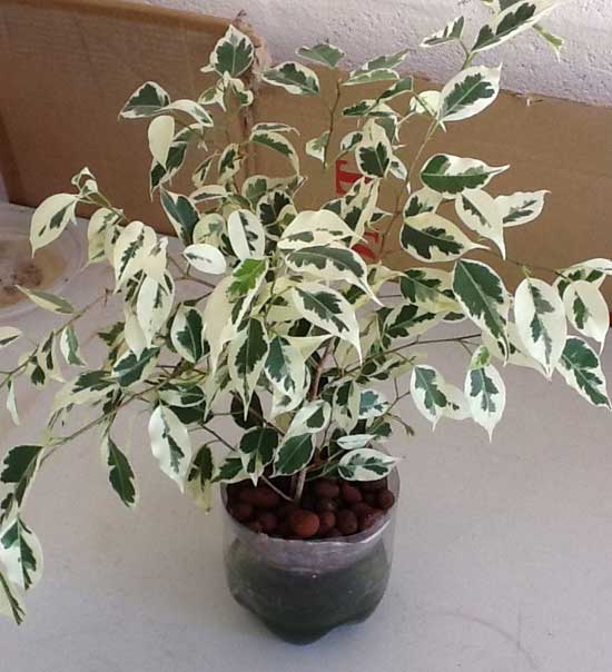 Variegated Ficus growing in SIP