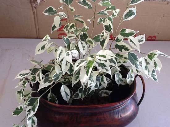 Variegated Ficus placed in tin planter