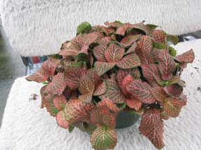 Red Fittonia