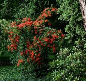 Flame Azalea calendulaceum
