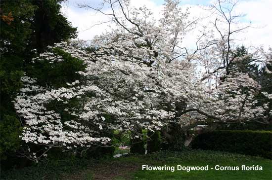 blooming dogwood tree cornus floridacrab apple