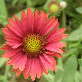 gaillardia pink blooming in the landscape