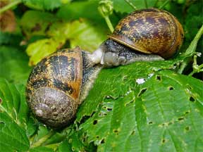 Garden snails eating on plants