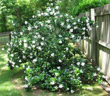 Gardenia Bush http://www.plant-care.com/gardenia-care-how-to-grow-gardenias.html