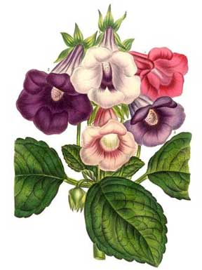 gloxinia watercolor plate