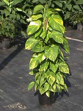 golden pothos growing on a totem