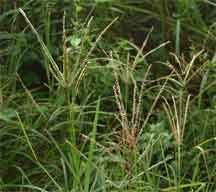 goosegrass