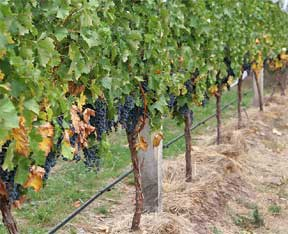 grapes vines ready for harvest
