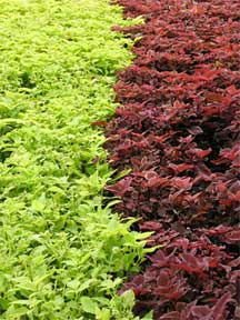 bright colored coleus growing in bed at Disney World