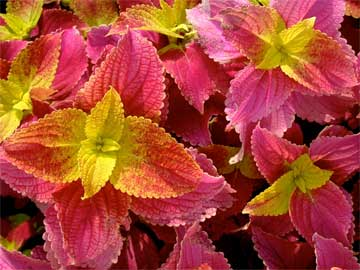 bright colored coleus blumei