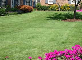 growing a carpet zoysia