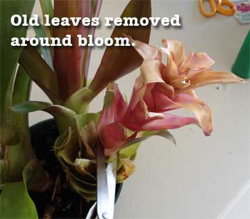 Old flower of Guzmania bromeliad with leaves cut away