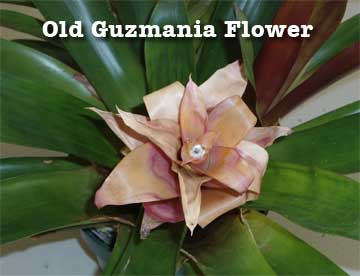Old flower of Guzmania bromeliad