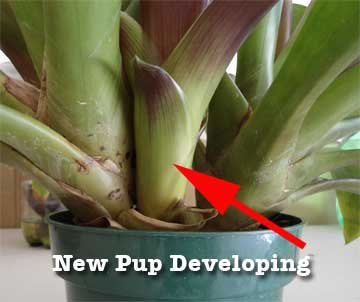new bromeliad pup developing