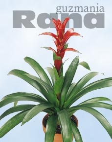 Guzmania Rana in full flower