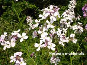 Flowering Herperis matronalis - Sweet rocket