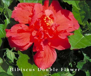 red hibiscus double flowered